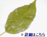 sakura_ao001.jpg