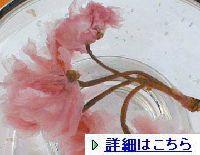 sakurahana0011.jpg