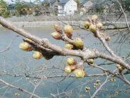 今日の、「おいしい店の標準木の桜」です。