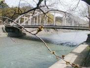 今日の、浅野川河畔「おいしい店の標準木の桜」です。