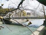 「さくら日記」で使った桜の木の標準木 奥に見えるのが卯辰山に掛かる天神橋