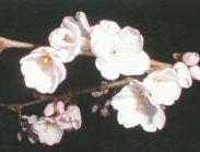 尾張町の夜桜