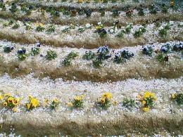 花壇に積もる花びら