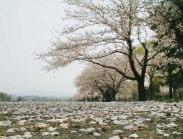 町中、桜の絨毯