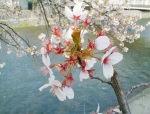 桜はいつまで持つのでしょうか?