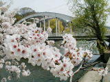 卯辰山に桜でできた橋が掛かる