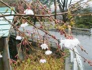 卯辰山のすだれ桜