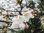 大手町のサクラは3分咲きです
