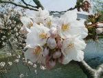 今日の「おいしい店の標準木の桜」です。