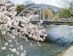 毎日の桜の様子をアップしています。今日は満開!