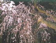 兼六園の「しだれ桜」